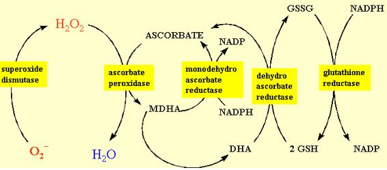 Figure 10 The redox cycling of ascorbate in the chloroplast often referred to as the Halliwell-Asada pathway.
