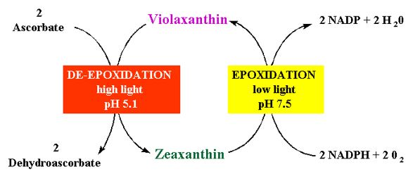 Figure 13: The Xanthophyll cycle for the cycling of violaxanthin and zeaxanthin.