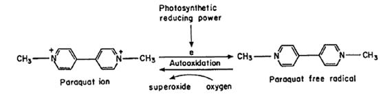 Figure 14 The redox cycling reaction of paraquat that causes superoxide production.