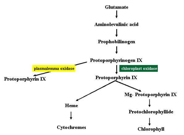 Figure 15 The biosynthetic pathway of chlorophyll and heme.
