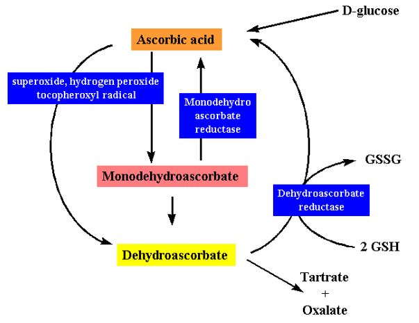 Figure 9 Synthesis and degradation of L-ascorbic acid in plant tissues.