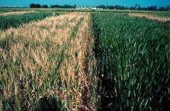Wheat F3 mass selection under chemical desiccation with magnesium chlorate (left) as compared with non-treated control (right); see Blum et al. 1991.