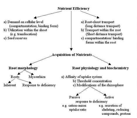 Fig.2. Possible mechanisms in genotypic differences for nutrient efficiency (Marschener, 1977b)