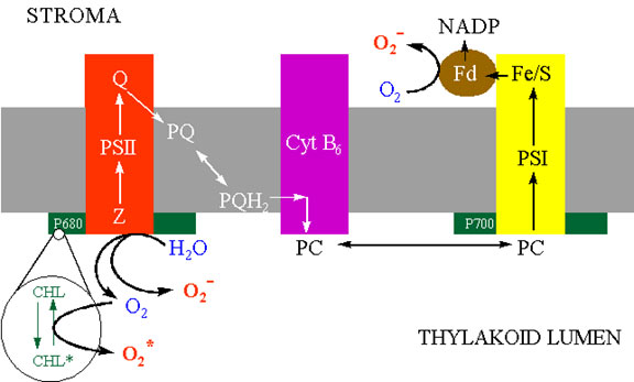 "Figure 5 Schematic representation of the electron transport system in the thylakoid membrane showing three possible sites of activated oxygen production. a) Singlet oxygen may be produced from triplet chlorophyll in the light harvesting complex. b) Superoxide and hydrogen peroxide may ""leak"" from the oxidizing (water-splitting) side of PSII. c) Triplet oxygen may be reduced to superoxide by ferredoxin on the reducing side of PSI."