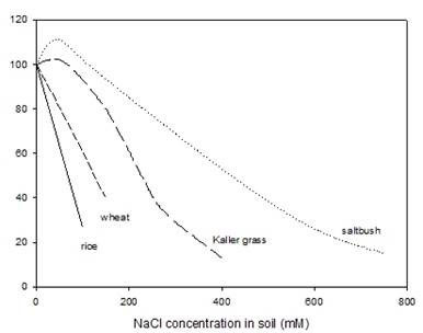 Figure 2. Biomass production of four diverse and important plant species in a range of salinities. Wheat is one of the more salt-tolerant crops, and rice is one of the more salt-sensitive crops. Two halophytes: a saltbush species Atriplex amnicola and a grass Diplachne (syn. Leptochloa) fusca or Kallar grass. Both halophytes show outstanding salt tolerance with high growth rates and are being used in Australia and Asia for grazing on saline land.