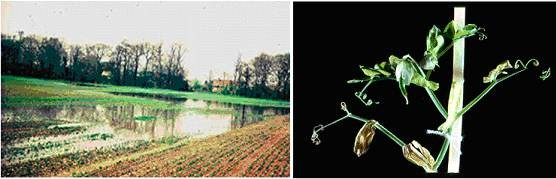 Fig. 9. Left - typical late spring waterlogging of poorly drained field of peas (Pisum sativum) in Cambridgeshire, UK. Right – close-up of the injury sustained by leaves of a pea plant after several days soil waterlogging.