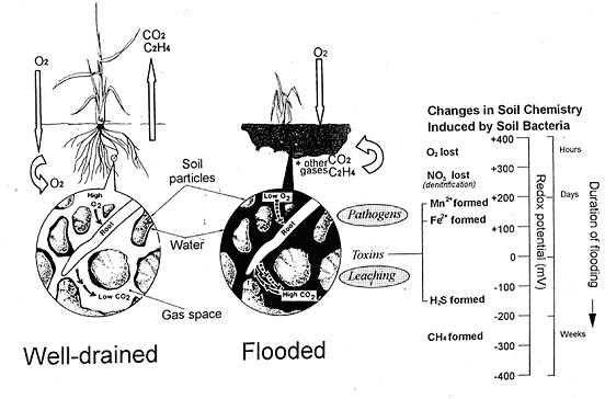 Fig. 2. Effect of flooding on (i) the displacement and exclusion of aerial oxygen from the soil, entrapment of metabolically generated gases in the soil and (ii) the consequences, over time, of bacterial respiration for soil redox potential, loss of free nitrate and subsequent generation of chemically reduced end-products. (Developed from (Setter and Belford, 1990)