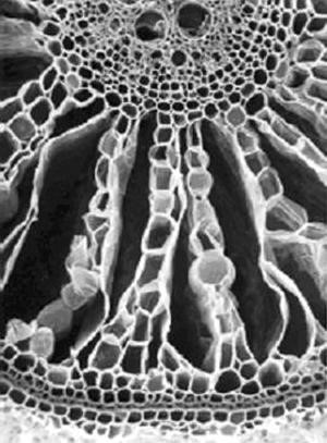 Fig. 4. Scanning electron micrograph showing the cortex of a young rice root where radial lines of intact living cells alternate with gas-filled space created by cell death. Photograph by Stewart Young.