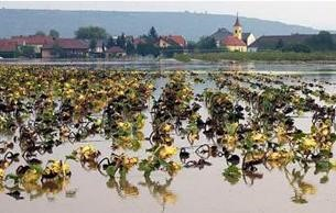 Fig. 6. Sunflowers suffering from wilting in the sun during an episode of summer waterlogging. (Photograph supplied by LACJ Voesenek)