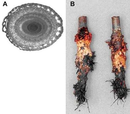 Fig. 7. Two examples of reactivation of development at the shoot base caused by soil waterlogging. A. Aerenchyma formation in the leaf base of Zea mays. B. Hypertrophic lenticels at the stem base of young apple plants (Malus domestica) waterlogged for 40 days (adventitious roots removed for clarity). Photographs by the author.