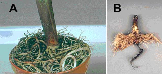 Fig. 8. Effect of approximately two weeks waterlogging on the formation of replacement adventitious roots at the soil surface by plants of [A] maize (Zea mays) and [B] sunflower (Helianthus annuus). In A, the roots are outgrowths of pre-existing primordia. In B, the original root system has been killed and replaced by newly initiated roots formed at the shoot base and hypocotyl. Both mechanisms generate a root system with improved access to aerial oxygen